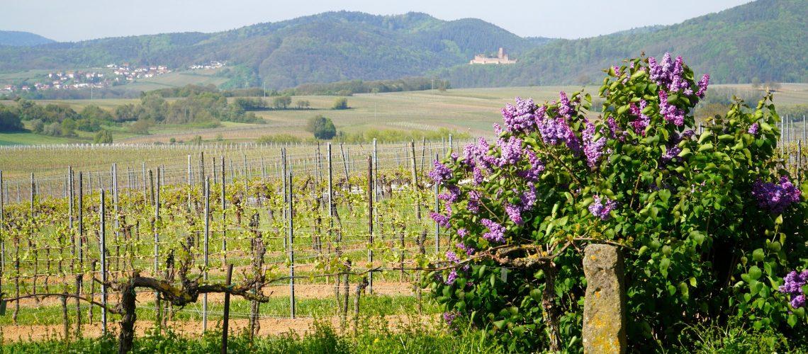vineyards-5072287_1920